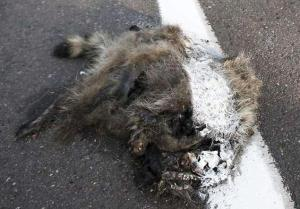 Road Workers Paint Over Road Kill With Street Paint